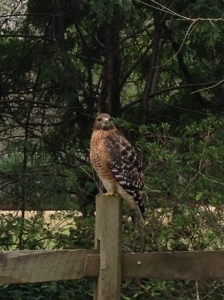 Haverty Hollow Hawk , 2/4/2013    Picture taken by Margaret Grosvenor