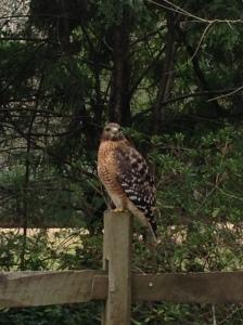Haverty Hollow Hawk , 2/4/2013    Picture taken by Margaret Grosvenor