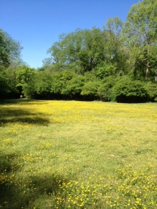 The lower field is bathed in yellow this time of year. You can see it on your left as you drive in to Haverty Hollow.  Enjoy!